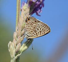 Long-Tailed Blue Butterfly on Lavender by Michael Field