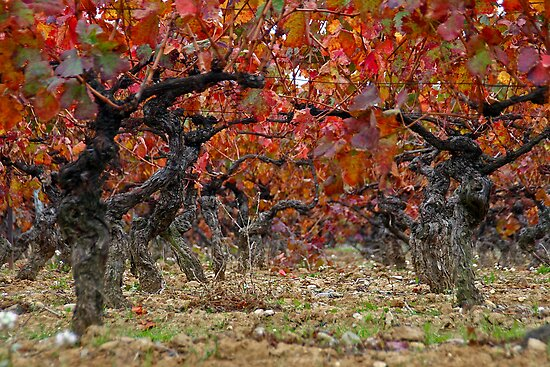 Autumn in the vineyards by Fran0723