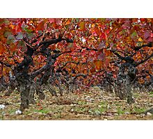 Autumn in the vineyards Photographic Print