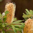Banksia by Malcolm Katon