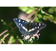 Southern White Admiral Butterfly  Photographic Print