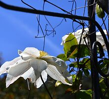 White Clematis on Arch at Abbotsbury gardens, Dorset uk by lynn carter