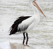 Proud Pelican by Elysian Photography