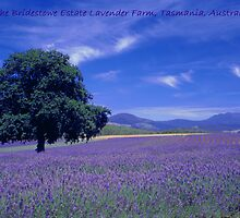 The Bridestowe Lavender Farm Tasmania, Australia by Debbie Steer