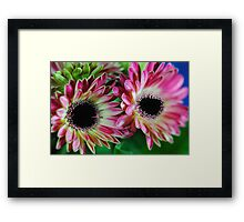 Pink and Cream Gerbera Daisies Framed Print