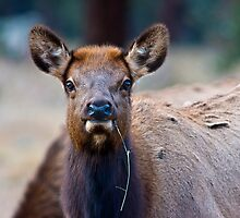 Yearling Elk by Jay Ryser