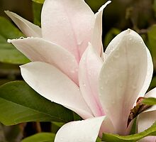 Magnolia After The Rain by TeresaB