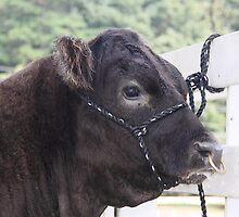 Punk Cow With Nose Piercing  by Jonathan  Green
