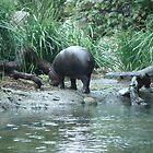 Pigmy Hippo @ Melb Zoo by Vanessa k