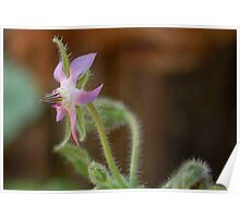 BORAGE - THE HERB Poster
