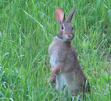 Brown Summer Jackrabbit Among Green Grass by LeeHicksPhotos