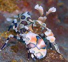 harlequin shrimp by Carle Parkhill