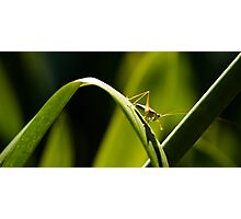 Grasshopper on a Green Leaf Photographic Print