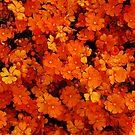 Hibbertia stellaris by Eve Parry