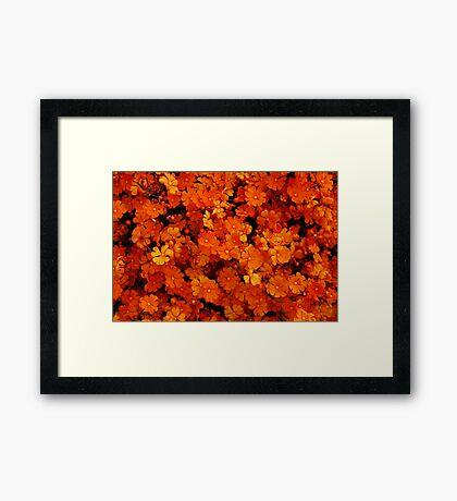 Hibbertia stellaris Framed Print