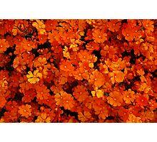 Hibbertia stellaris Photographic Print