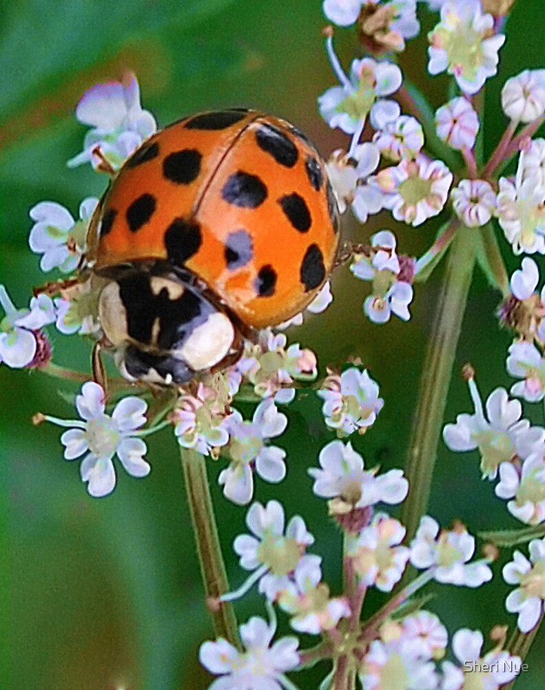 Ladybird Beetle on Queen Anne's Lace by Sheri Nye