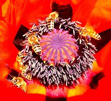 Poppy and Bees by ©The Creative  Minds