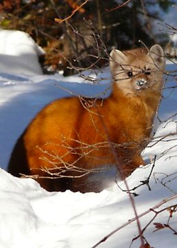Pine Marten,(Sable) by MaeBelle