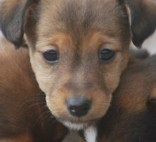 Jack Russell Pups by heidi112