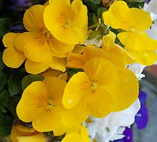 Yellow Face Pansy by ELUNED
