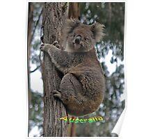 Koala climbing Eucalypt Tree Poster