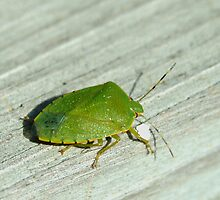 101009-113   A GREEN STINKBUG by MICKSPIXPHOTOS