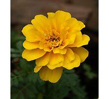Yellow Marigold Photographic Print