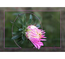 Aster Giants of California Photographic Print