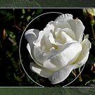 White Rose by MarianaEwa