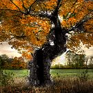 Grandfathers Maple by Wayne King