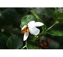 Furry Butterfly Having Lunch Photographic Print