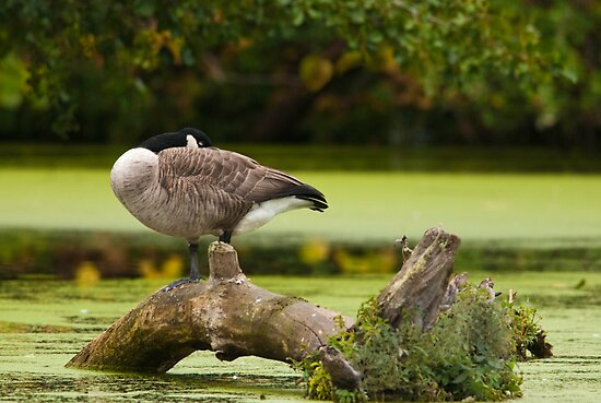 Canada Goose on log by (Tallow) Dave  Van de Laar