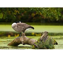 Canada Goose on log Photographic Print