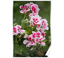 Geraniums two tone Poster