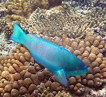 Blue male Parrot Fish by allanjonesgbr