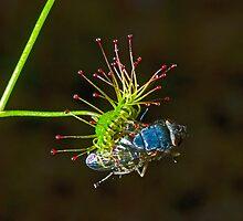 Tall Sundew Flytrap by Murray Wills