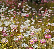 Everlastings  by EOS20