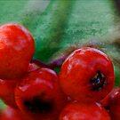 Rowan Berries.... by Patriciakb