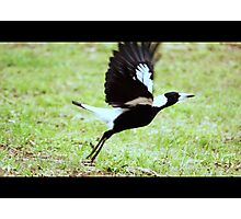 Magpie taking flight Photographic Print