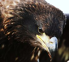 Sea eagle portrait by Alan Mattison IPA