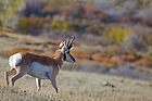 Pronghorn, Tapestry of Fall Color by A.M. Ruttle