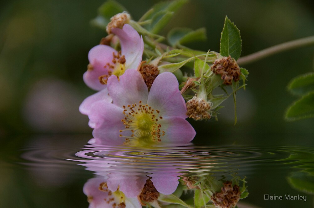 Last Wild Rose  by Elaine  Manley