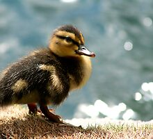 Not an Ugly Duckling by Micci Shannon