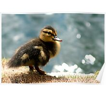 Not an Ugly Duckling Poster