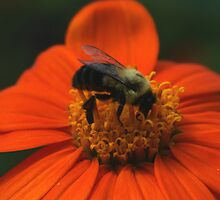 Orange Flower and Bumble Bee by Dennis Smoyer