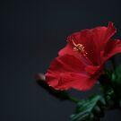 hibiscus by narabia