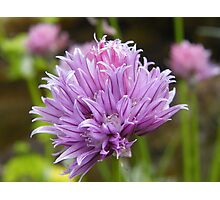Chive Flower Photographic Print