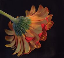 """Light on a Gerbera"" by deborahS-C"