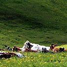28.5.2015: Cows on Pasture by Petri Volanen